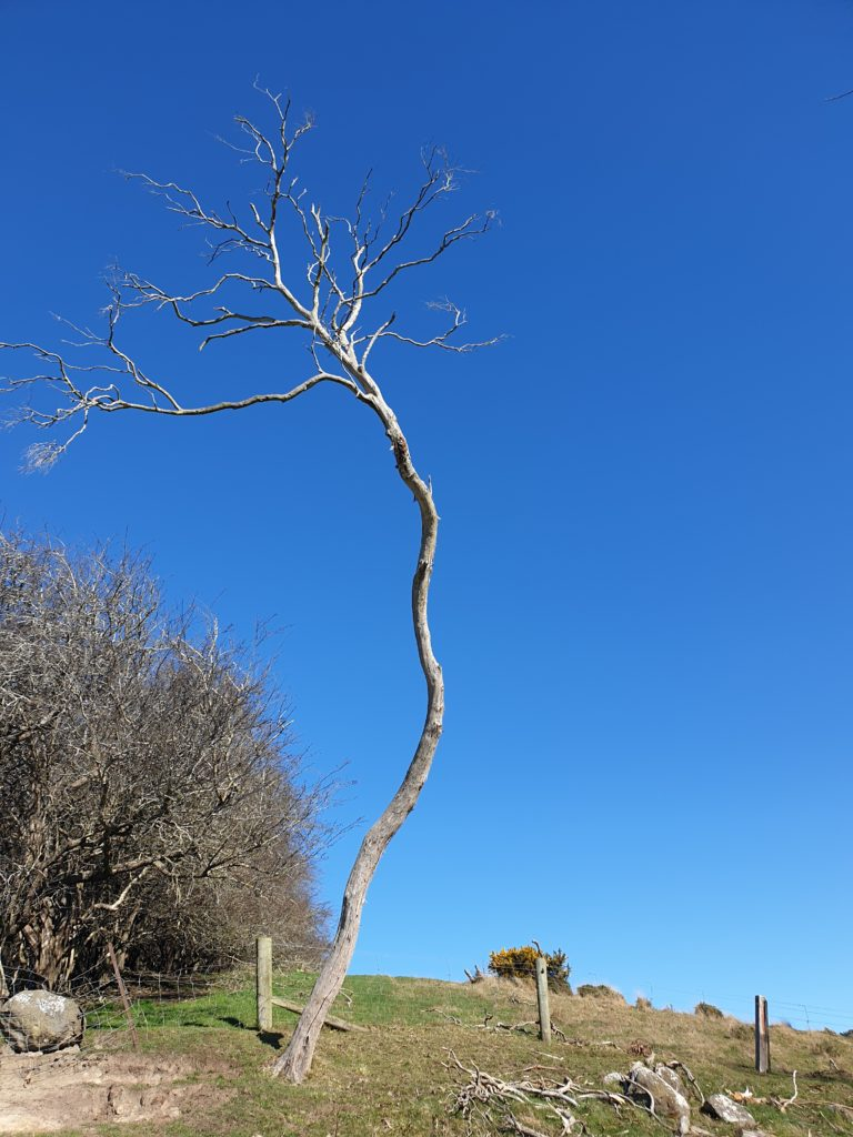 dead tree against a stunning blue sky