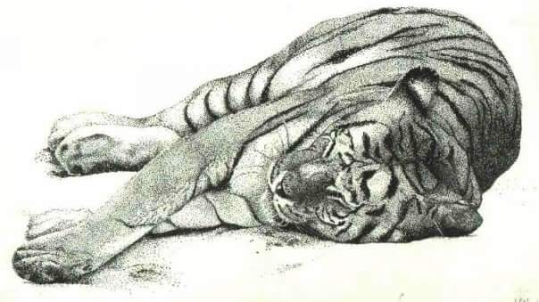 tiger in pen and ink stippling style