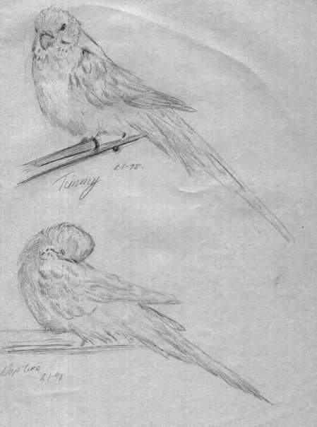 canary in pencil on paper drawn from life